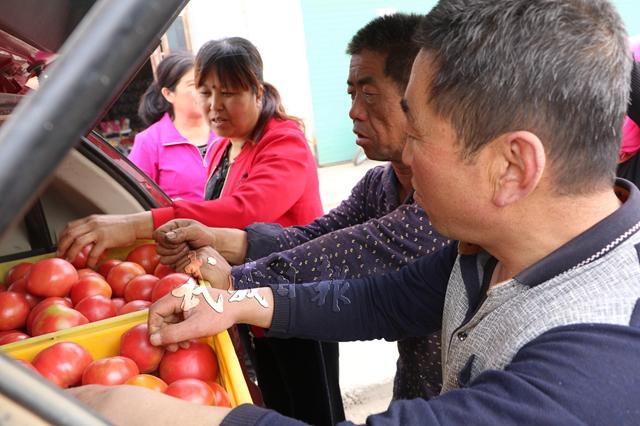 优质西红柿深受客商欢迎。.jpg